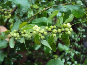 Guggul Herb