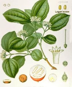 Kuchla Herb