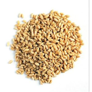 Whole Wheat Seeds