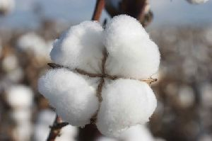 Row Cotton