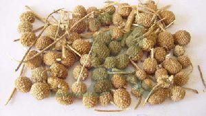 Gorakhmundi Herb