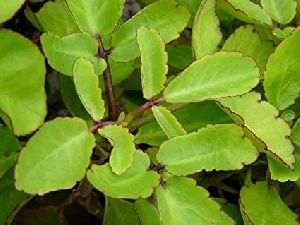 Patharchatta Herb