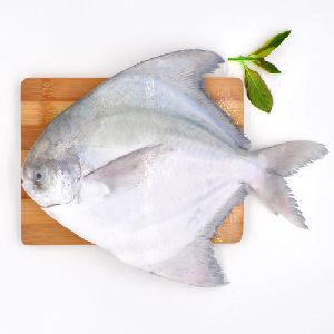 Live Atlantic Pomfret Fish