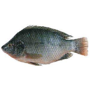 Live Tilapia Fish