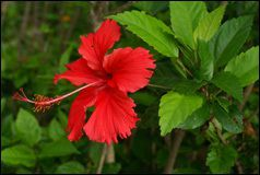 Hibiscus Rosa Sinensis Extract