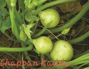 Chappan Kaddu Seeds