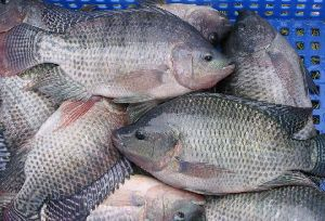 Chilled Tilapia Fish