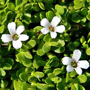 Bacopa Moniera