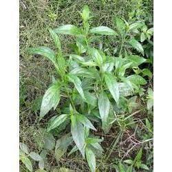 Andrographis Paniculata Plant