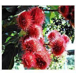 Bixa Orellana Plant