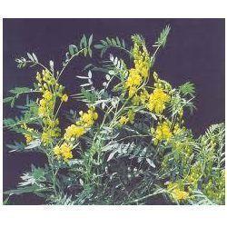 Cassia Angustifolia Plant