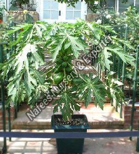 Taiwan Papaya Plant