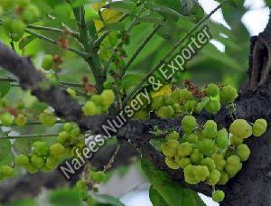 Amla Chakaya Grafted Plant