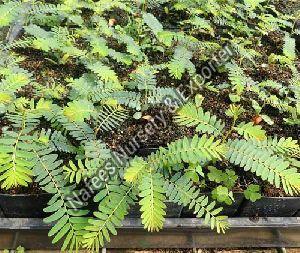 Amla Laxmi 52 Grafted Plant
