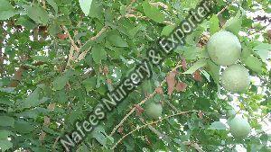 Bael Fruit Stone Plant