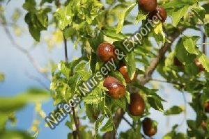 Ber Karaka Grafted Plant