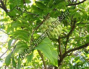 Desi Custard Apple Fruit Plant