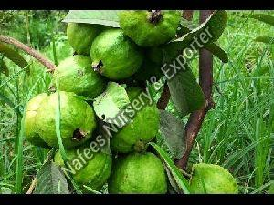 Guava Chinese Grafted Plant
