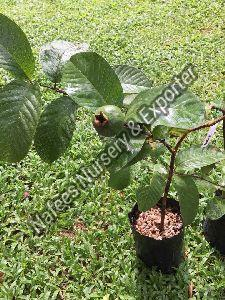 Guava Lalit Grafted Plant