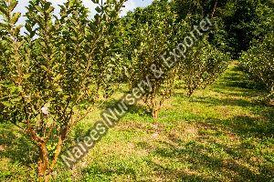 Guava Sardar L49 Grafted Plant