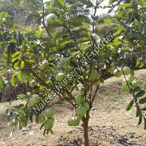 Guava Sugar Free Grafted Plant