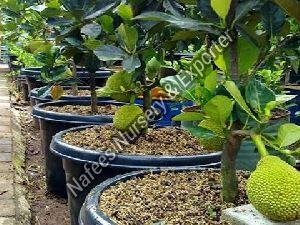 Hybrid Jackfruit Plant