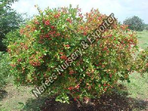 Karonda American Red & White Plant