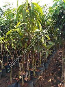 Mango Mallika Crafted Plant