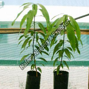 Mango Seedless Grafted Plant