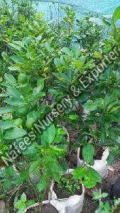 Nagpur Orange Grafted Plant