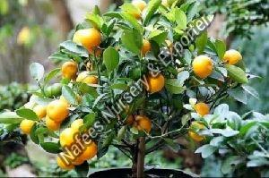 Valencia Orange Grafted indoor Plant