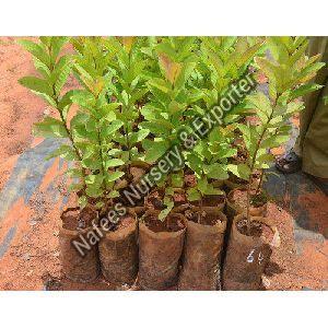 Guava VNR Bihi Grafted Plant