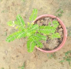 Bhumi Amla Plant
