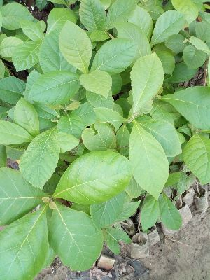 Indian Teak Plant's