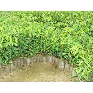 Agarwood Plant