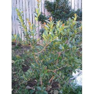 Cherry Guava Plant