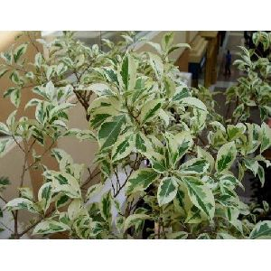 Variegated Ficus Plant