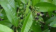Sarvasugandhi Leaves