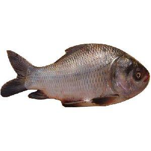 Katla Fish