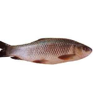 Rohu Fish