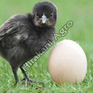 Kadaknath Healthy Chicks