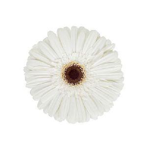 Ambeta Gerbera Flower