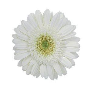 Amelie Gerbera Flower