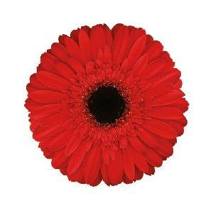 Amlet Gerbera Flower