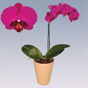 Capetown Phalaenopsis Plant Pot
