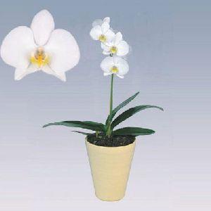 Casablanca Phalaenopsis Plant Pot