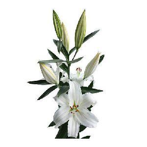 Crystal Blanca Oriental Lilies Plant