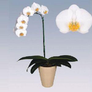 Daewin Phalaenopsis Plant Pot