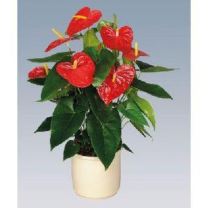 Dakota Anthurium Plant Pot