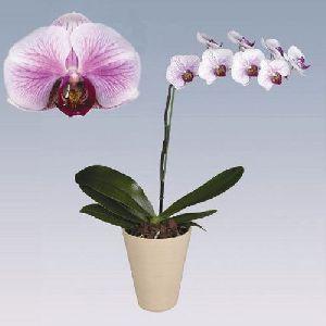 Dallas Phalaenopsis Plant Pot